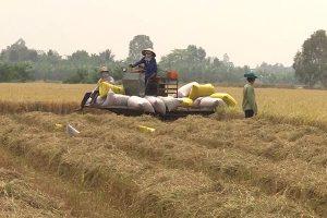 Giá gạo xuất khẩu cao kỷ lục sau gần một thập kỷ